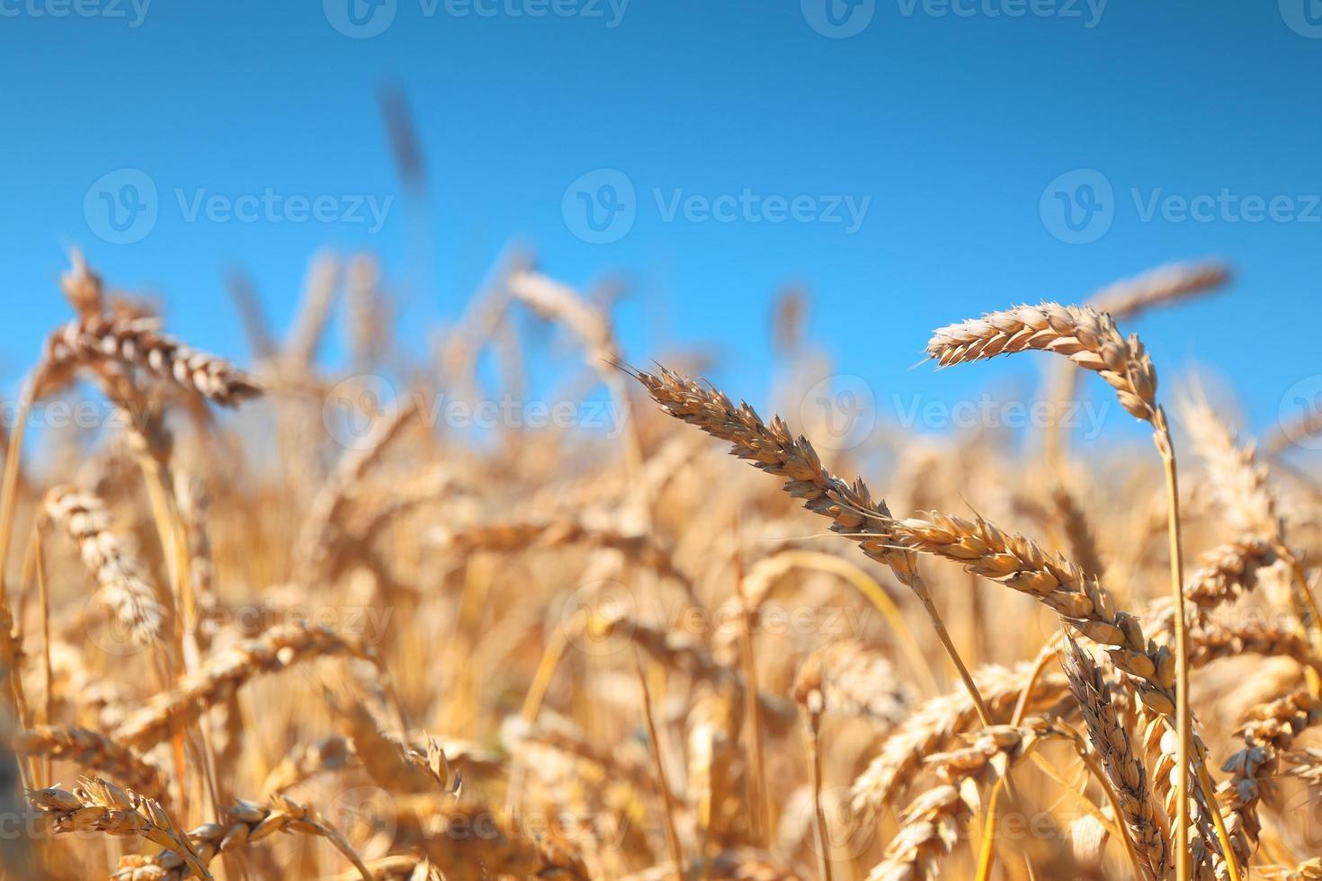 campo de trigo e céu azul foto