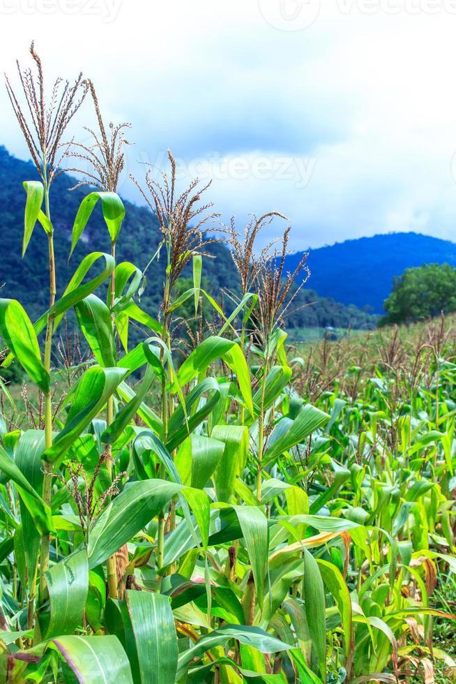 campo de milho na montanha foto