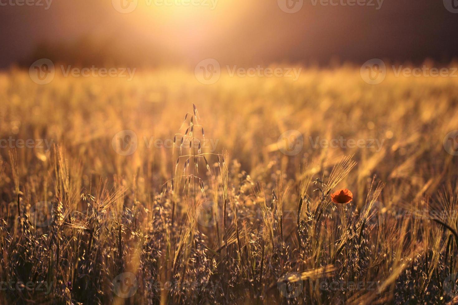 belo pôr do sol sobre o campo de trigo foto
