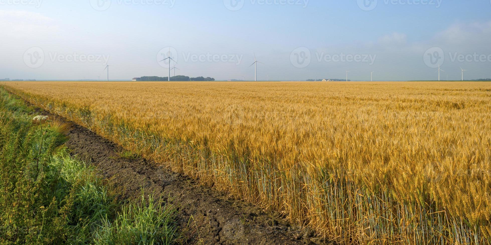milho crescendo em um campo no verão foto