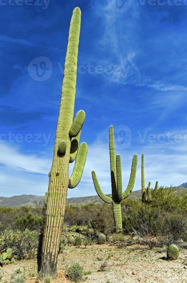 cacto gigante saguaro no parque nacional saguaro, arizona foto