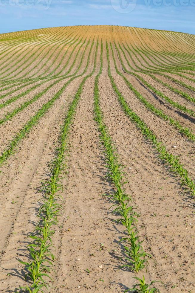 campo de milho jovem foto