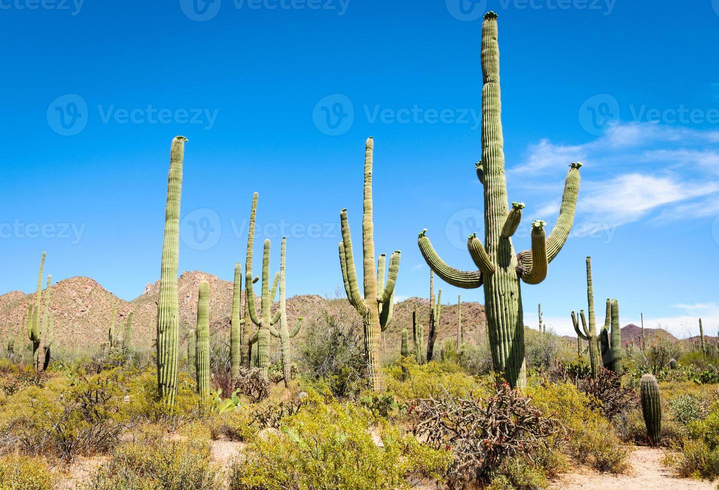 parque nacional do saguaro foto