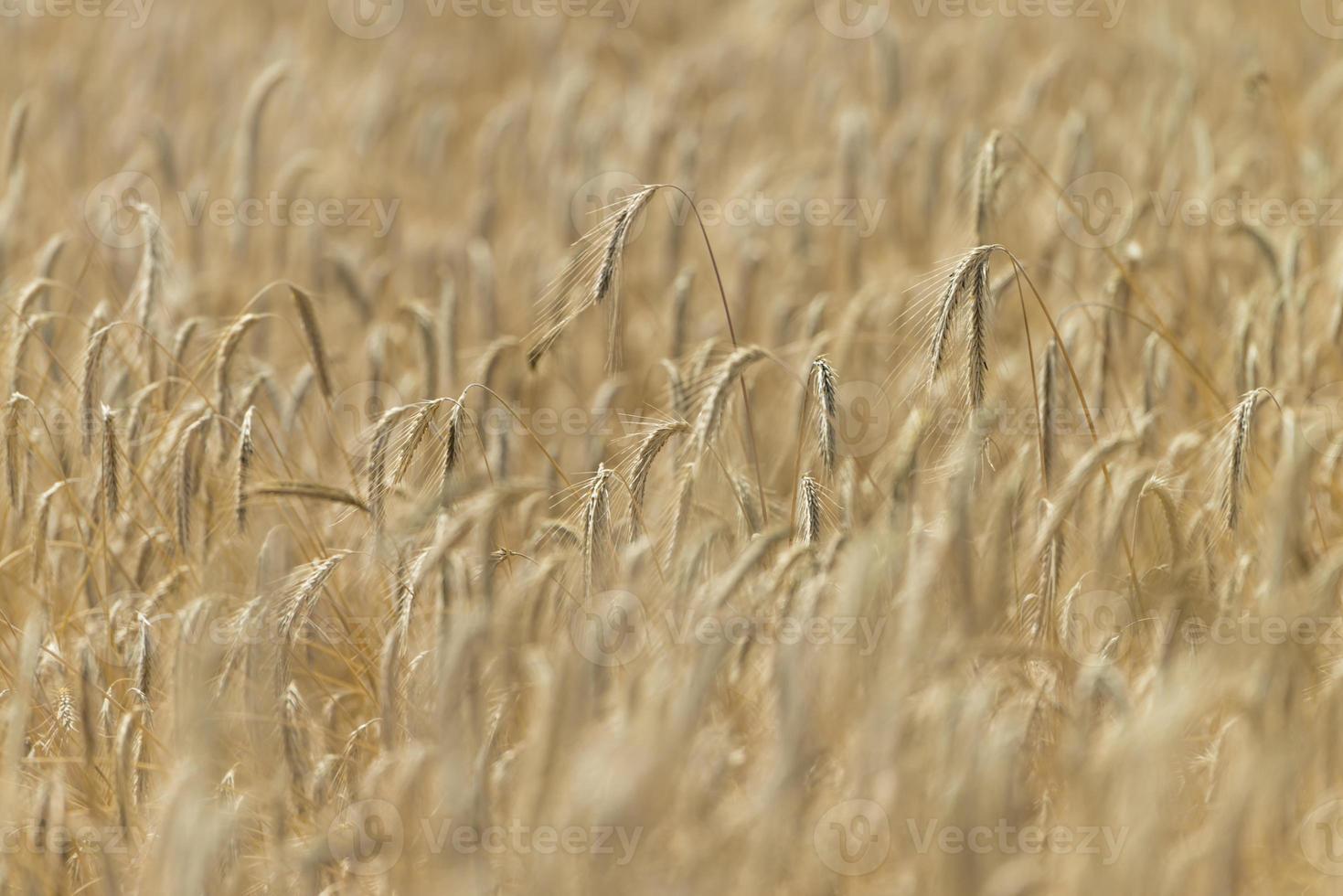 campo de trigo foto
