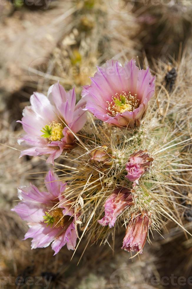 flores de cacto rosa foto