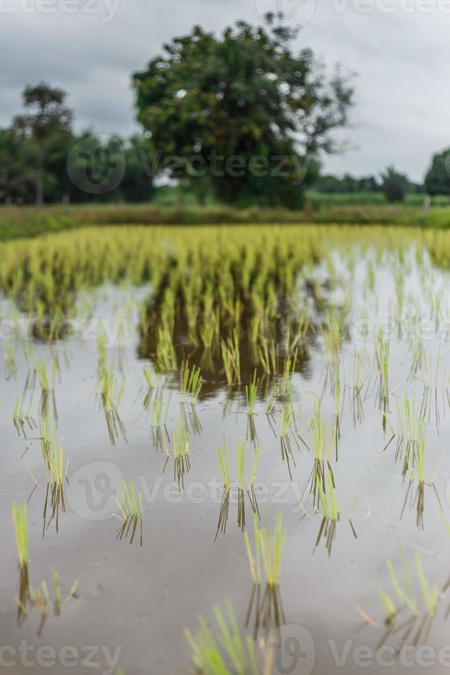 fazenda de arroz foto