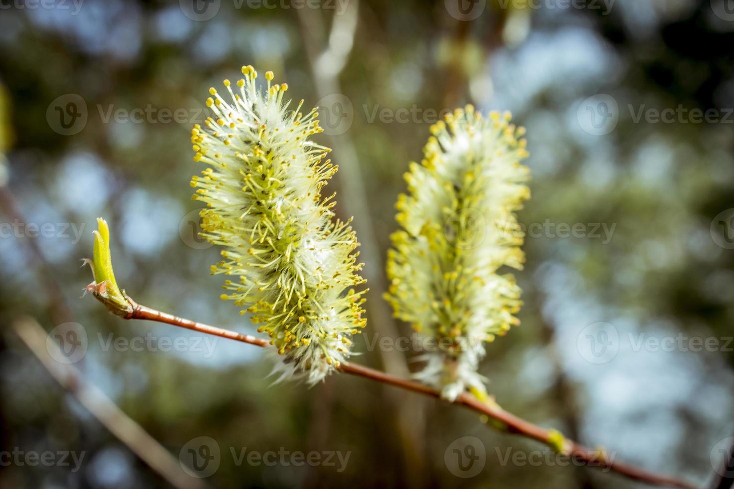 botões de primavera foto