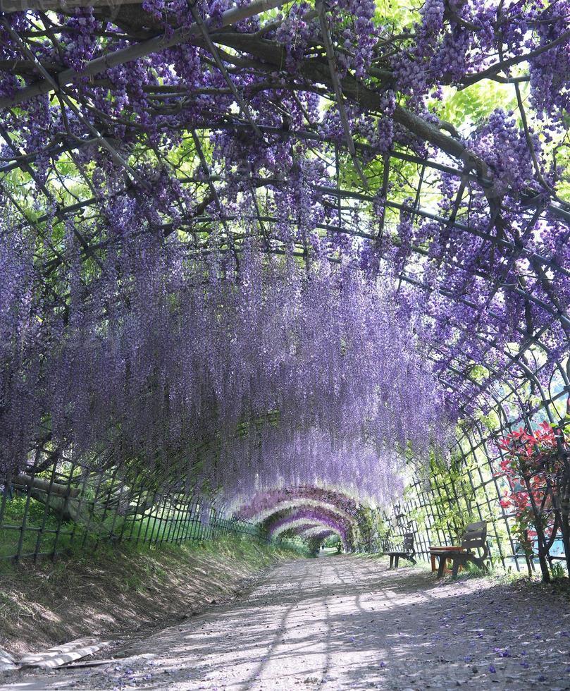 túnel de glicínias foto