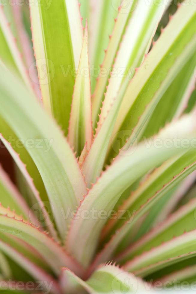 folhas de abacaxi foto