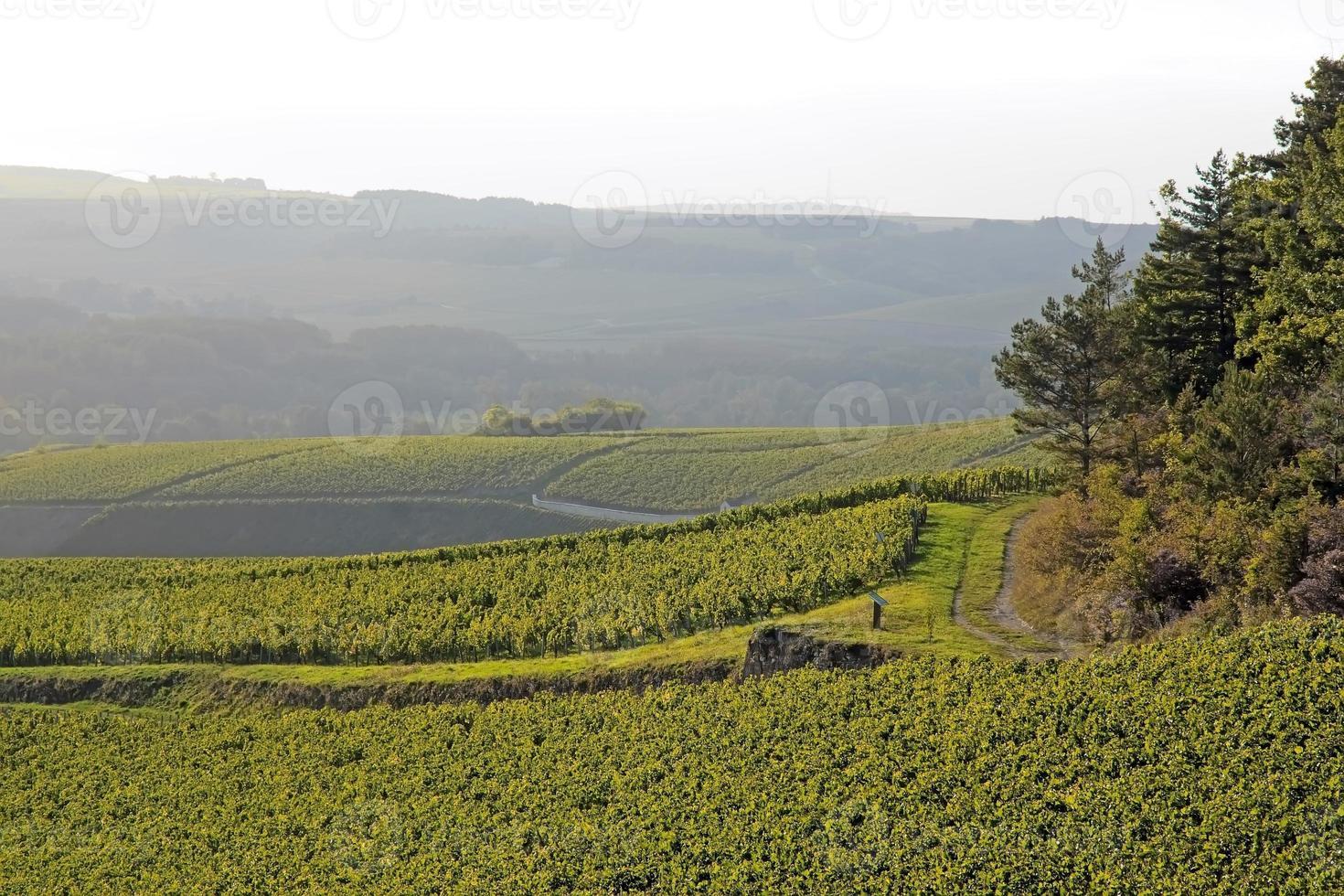 paisagem de vinhas foto