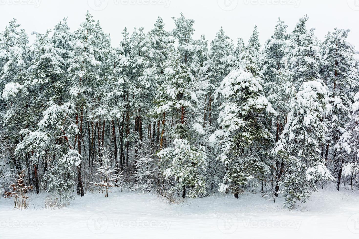 fundo da floresta de inverno foto