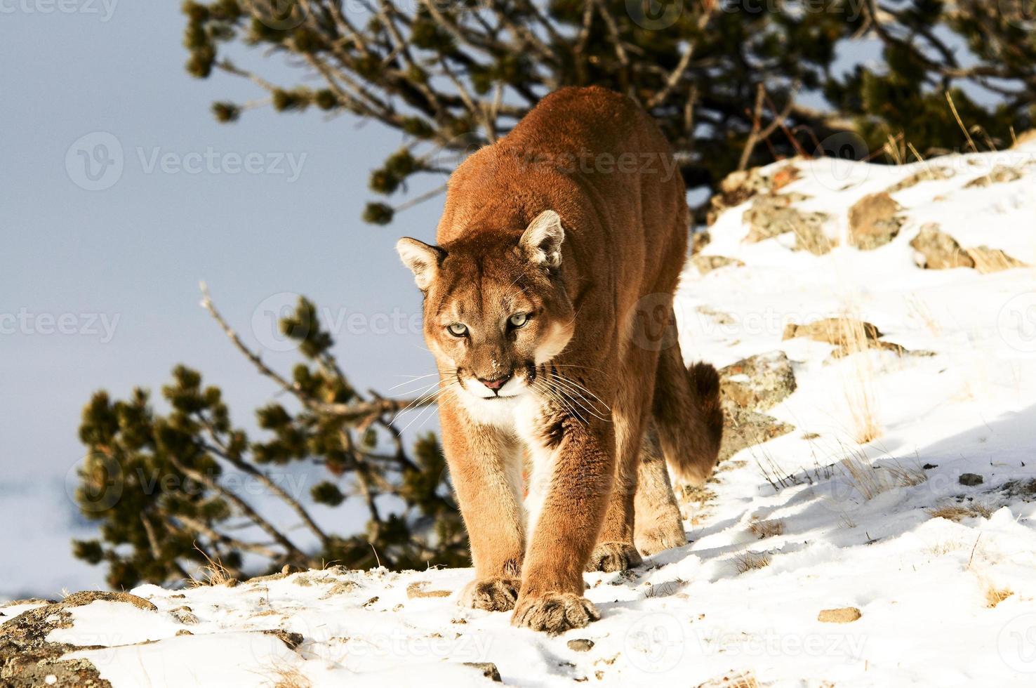 leão da montanha no inverno foto