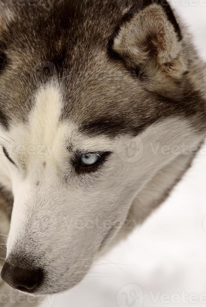 husky siberiano no inverno foto