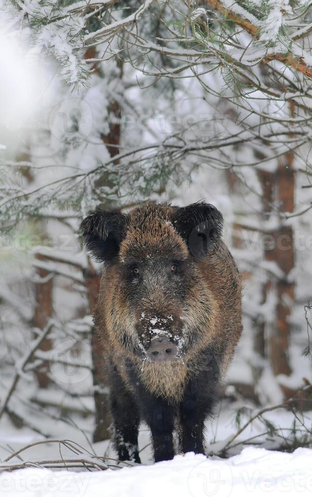 javali na floresta de inverno foto