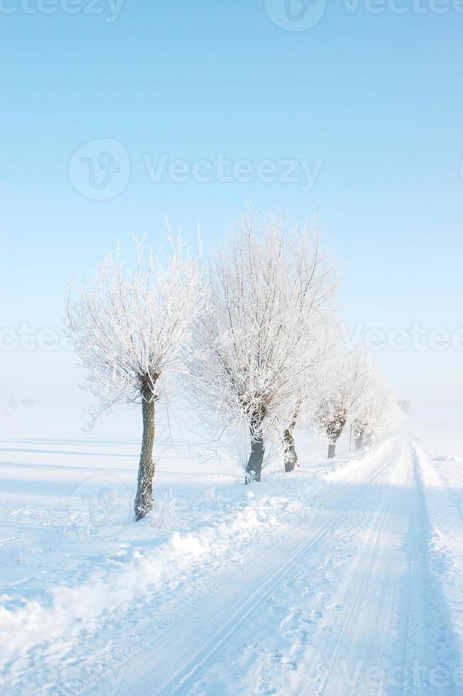 árvores de salgueiro de inverno foto
