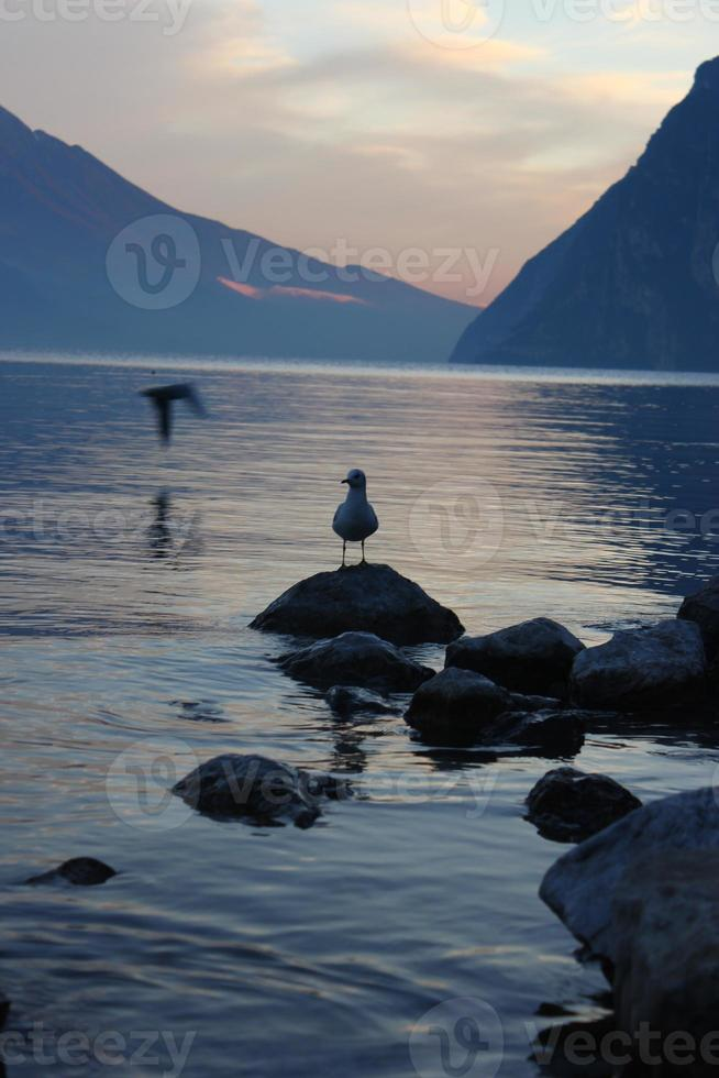 gaivotas do lago foto