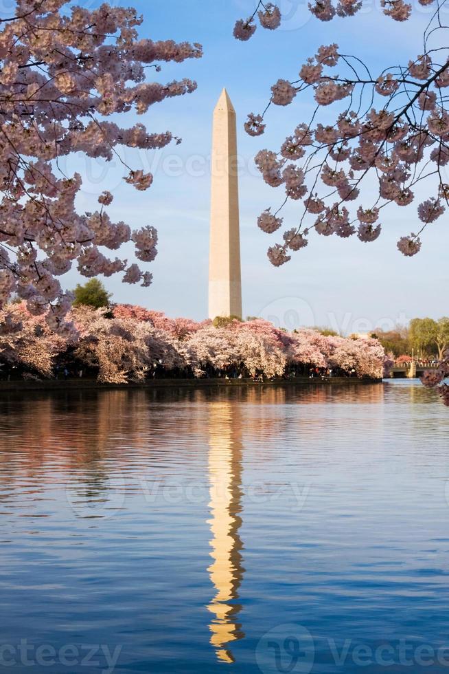 monumento de washington cercado por flor de cerejeira foto