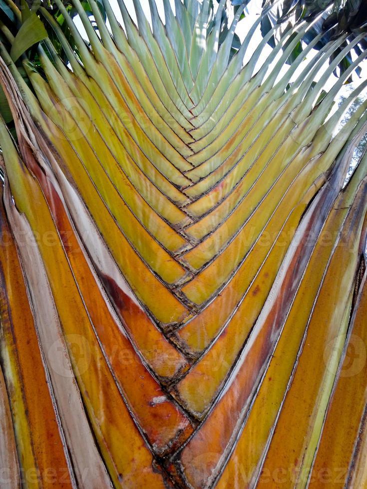 imagem de fundo da árvore do viajante de ravenala, close-up foto
