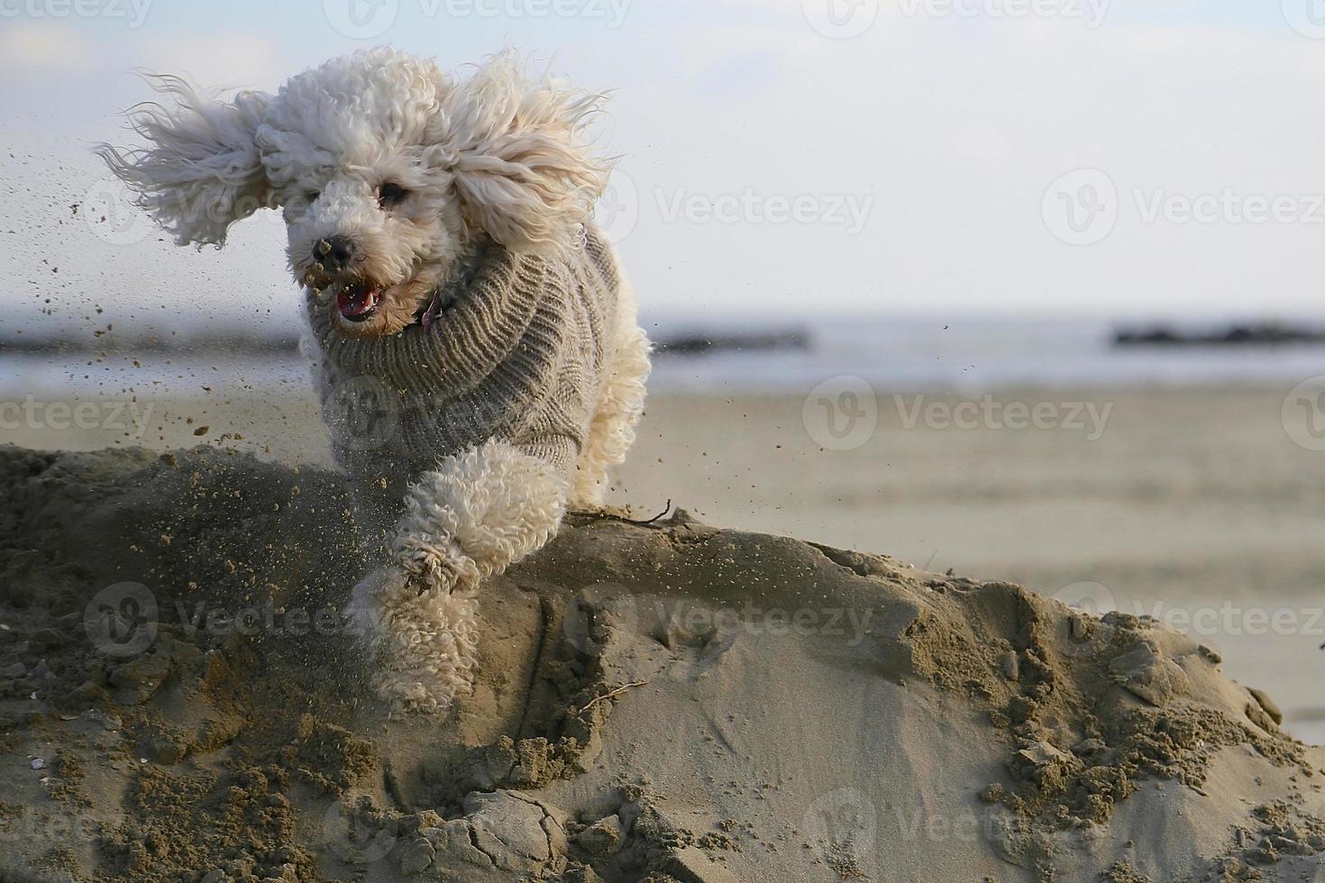 cão poodle foto