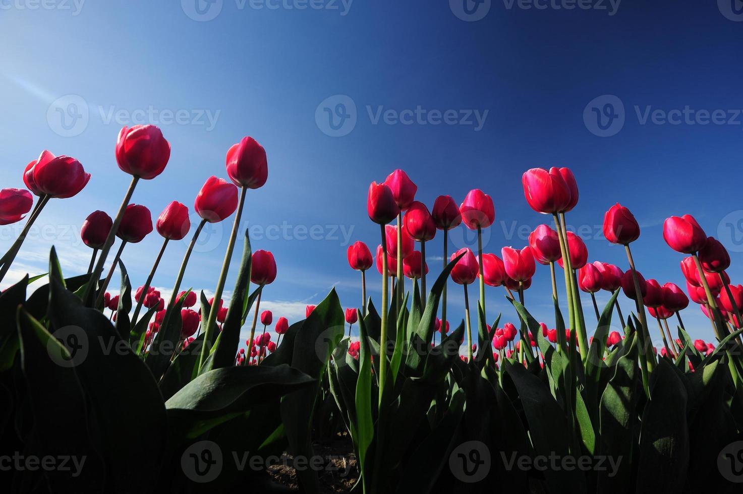 tulipa vermelha com céu azul foto