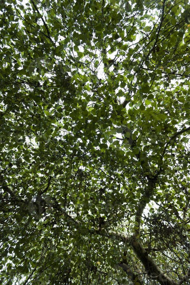 detalhe da folha de salgueiro-chorão foto