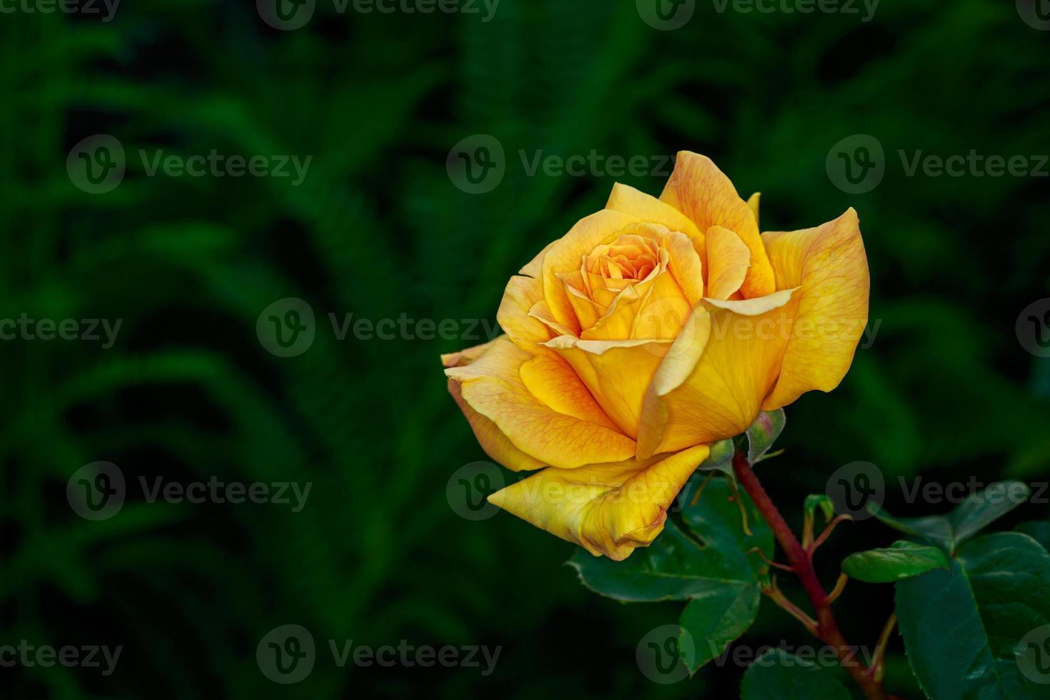 linda rosa em plena floração foto