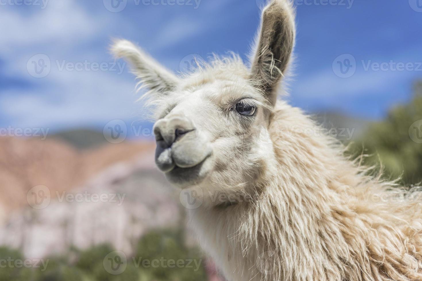 lhama em purmamarca, jujuy, argentina. foto