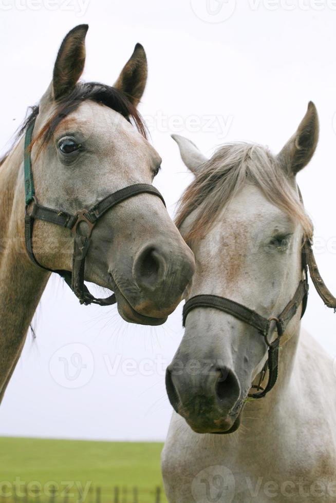 cavalos árabes estão juntos no pasto foto