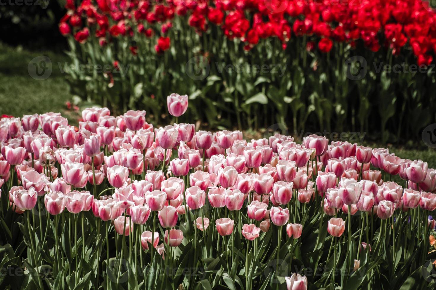 vermelho e mistura de tulipas vermelhas e brancas foto