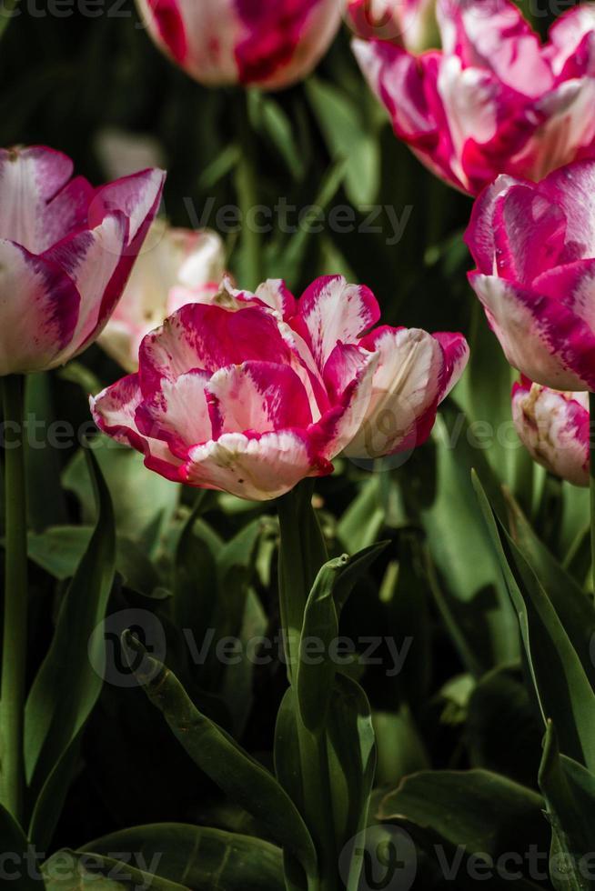 mistura de tulipas coloridas vermelhas e brancas foto