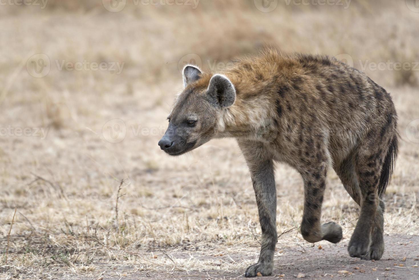 hiena feminina caminhando pela estrada agrícola foto