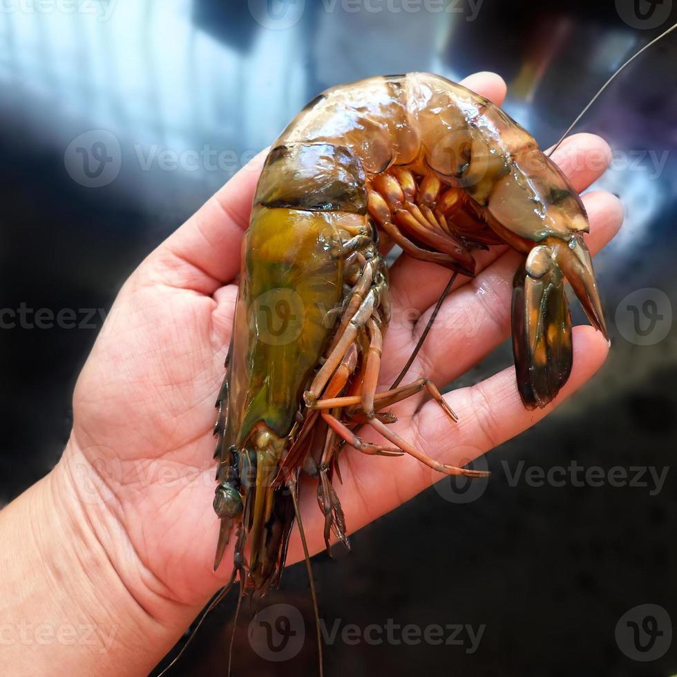 mão feminina e camarão gigante. comparação de tamanho. foto