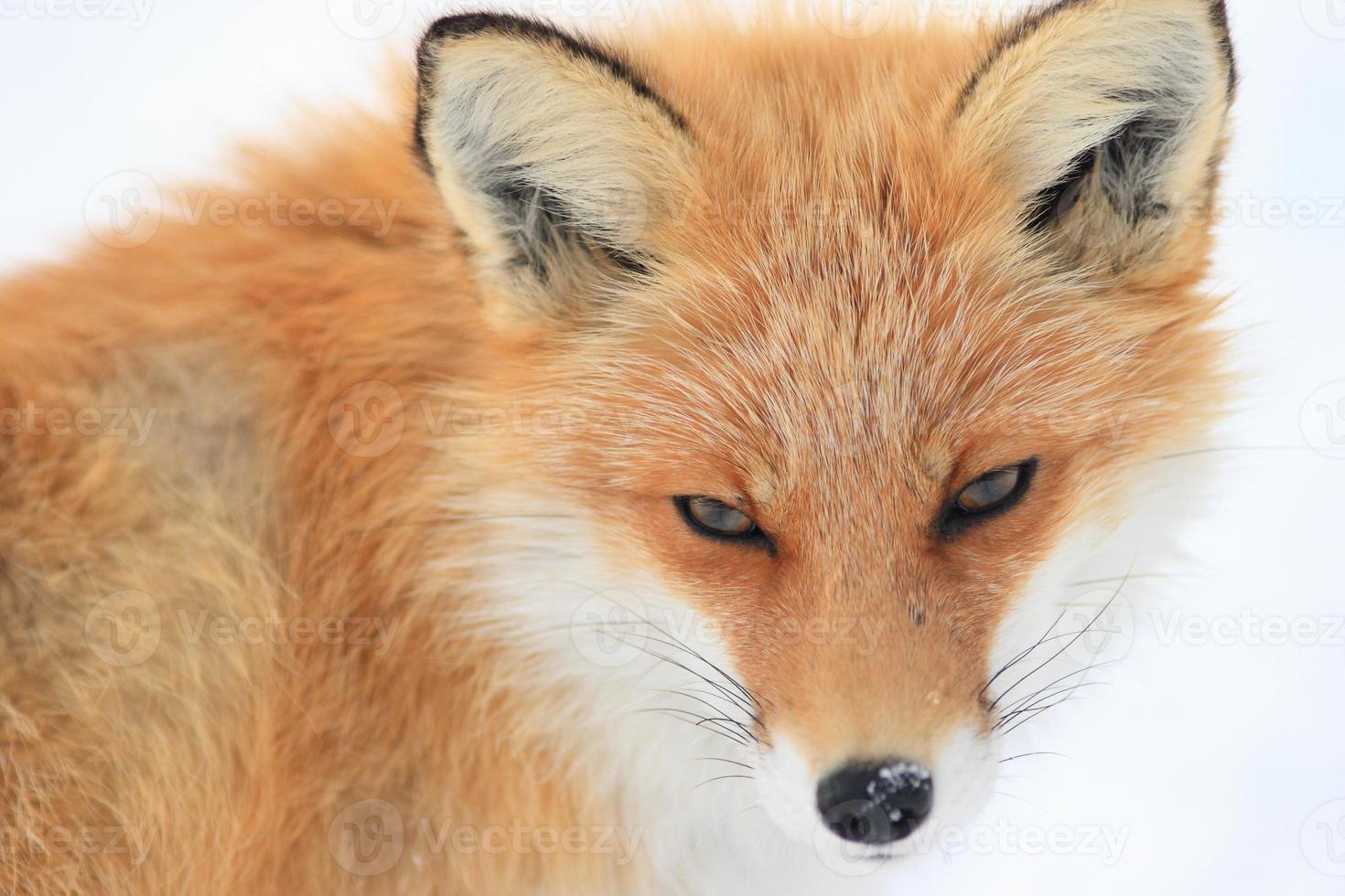 raposa no campo de neve foto