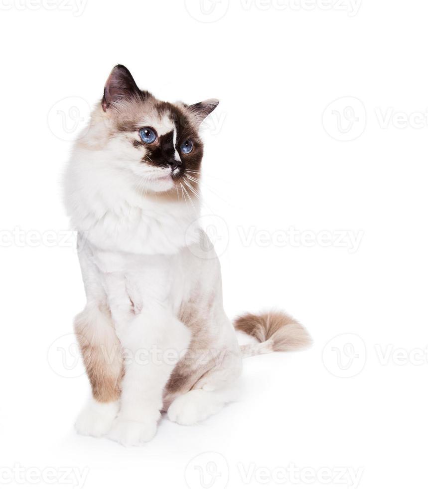 corte de cabelo de gato ragdoll foto