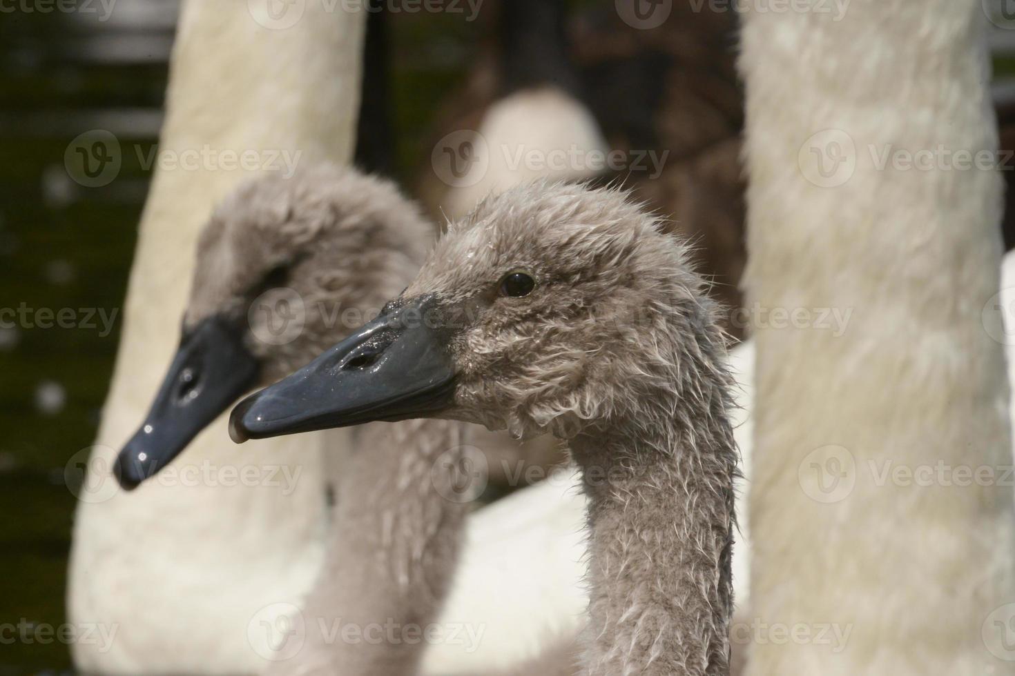 cisne muda, cygnus olor foto