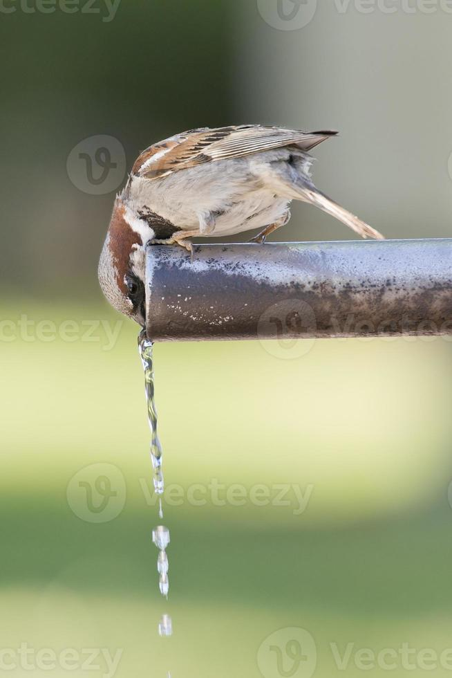 pardal bebendo água. foto