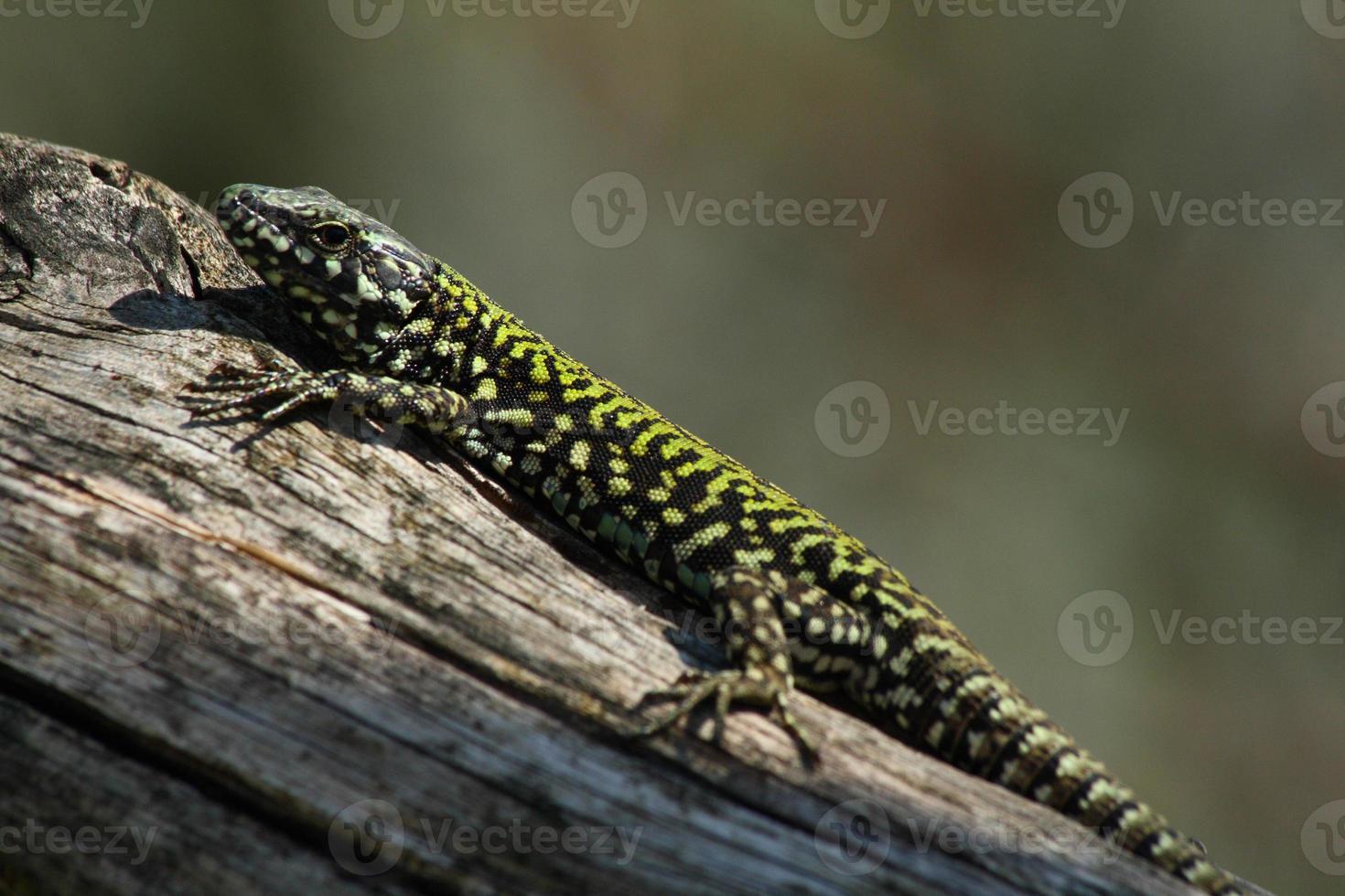 lagarto europeu foto
