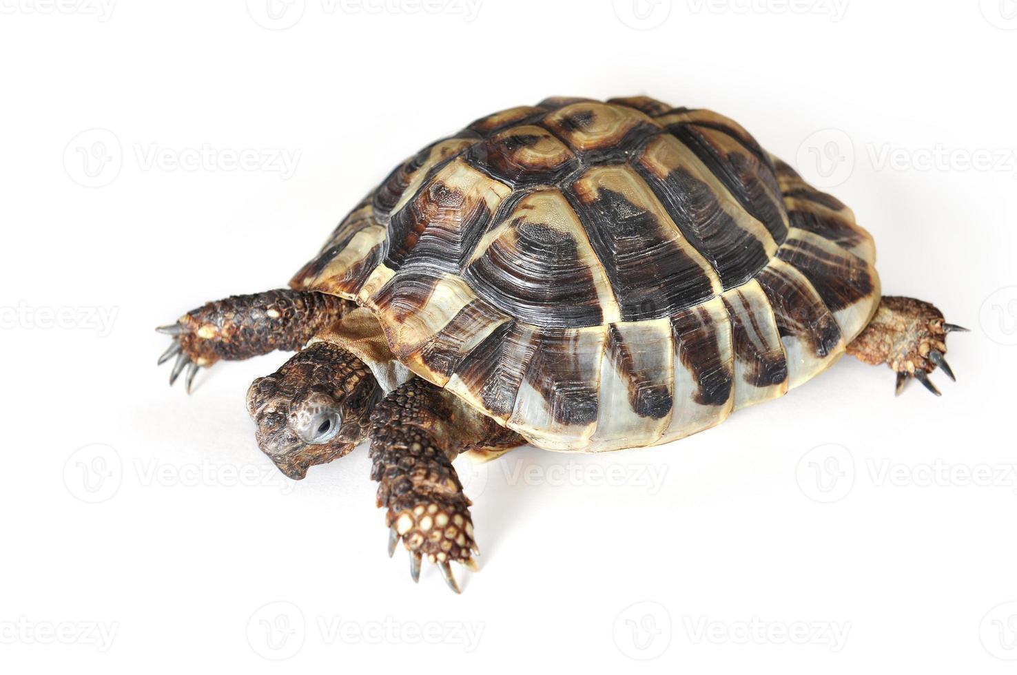 tartaruga de hermann foto