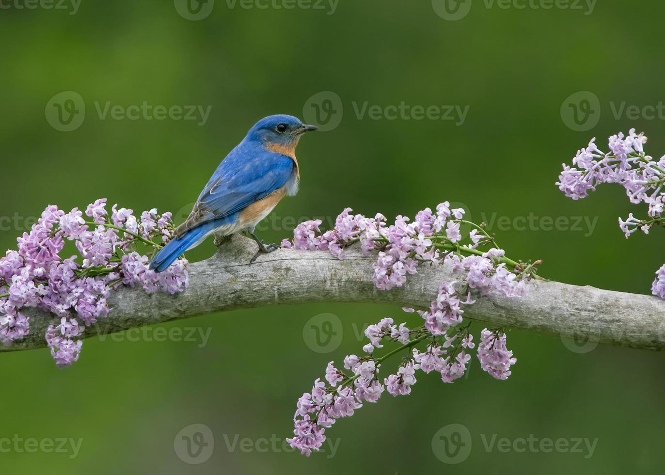 pássaro azul em lilases foto