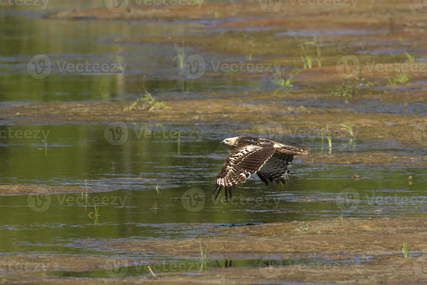 voando águia falcão mutável no nepal foto