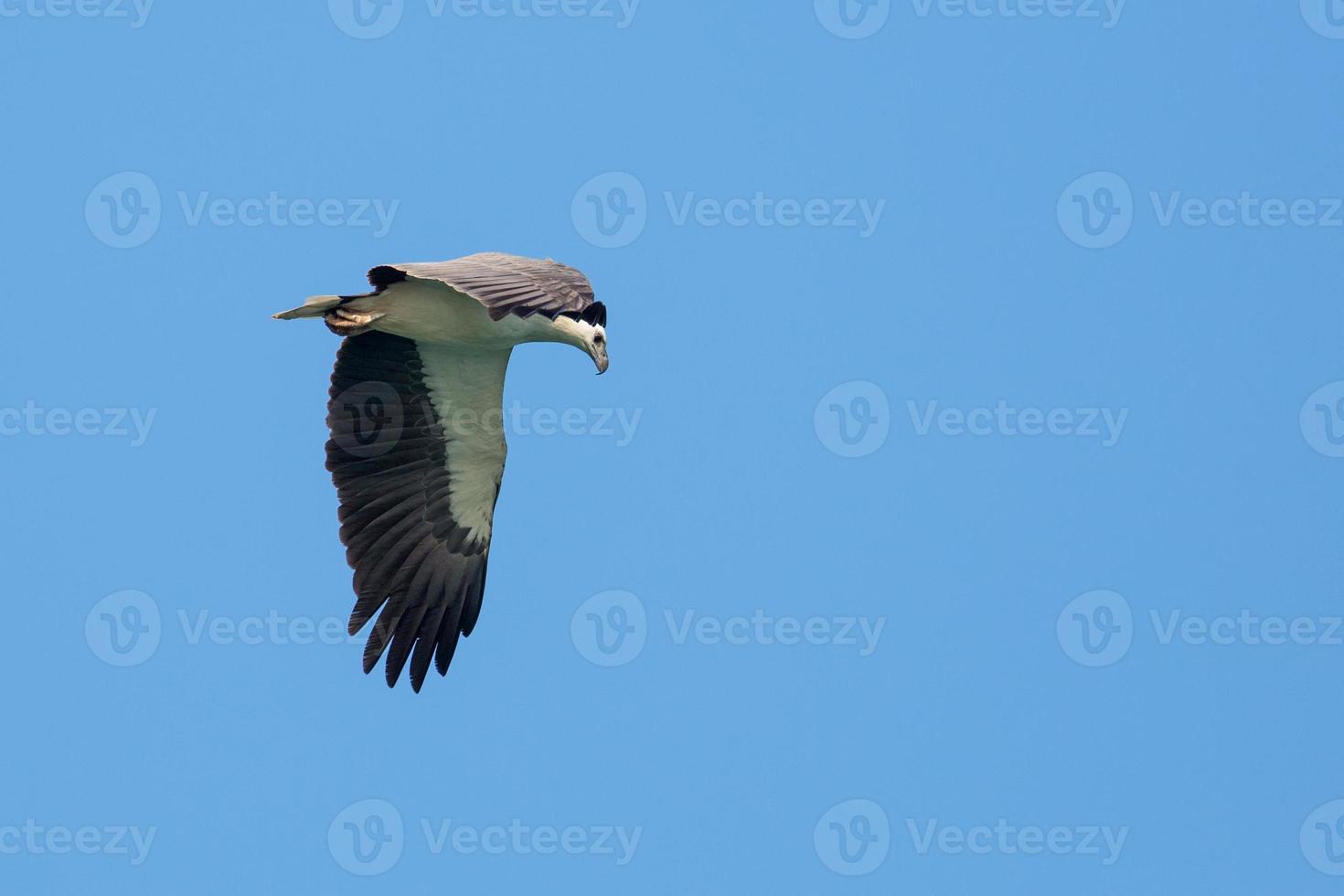 águia de barriga branca voando no céu azul foto