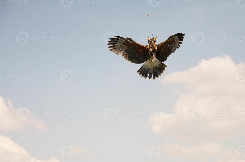 Falcão captura comida foto