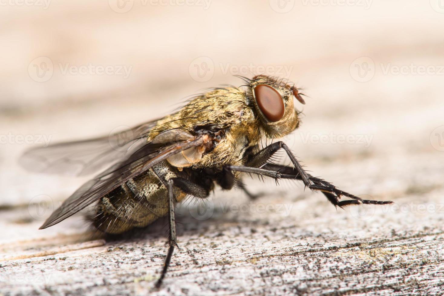 mosca dourada da casa do muscidae foto