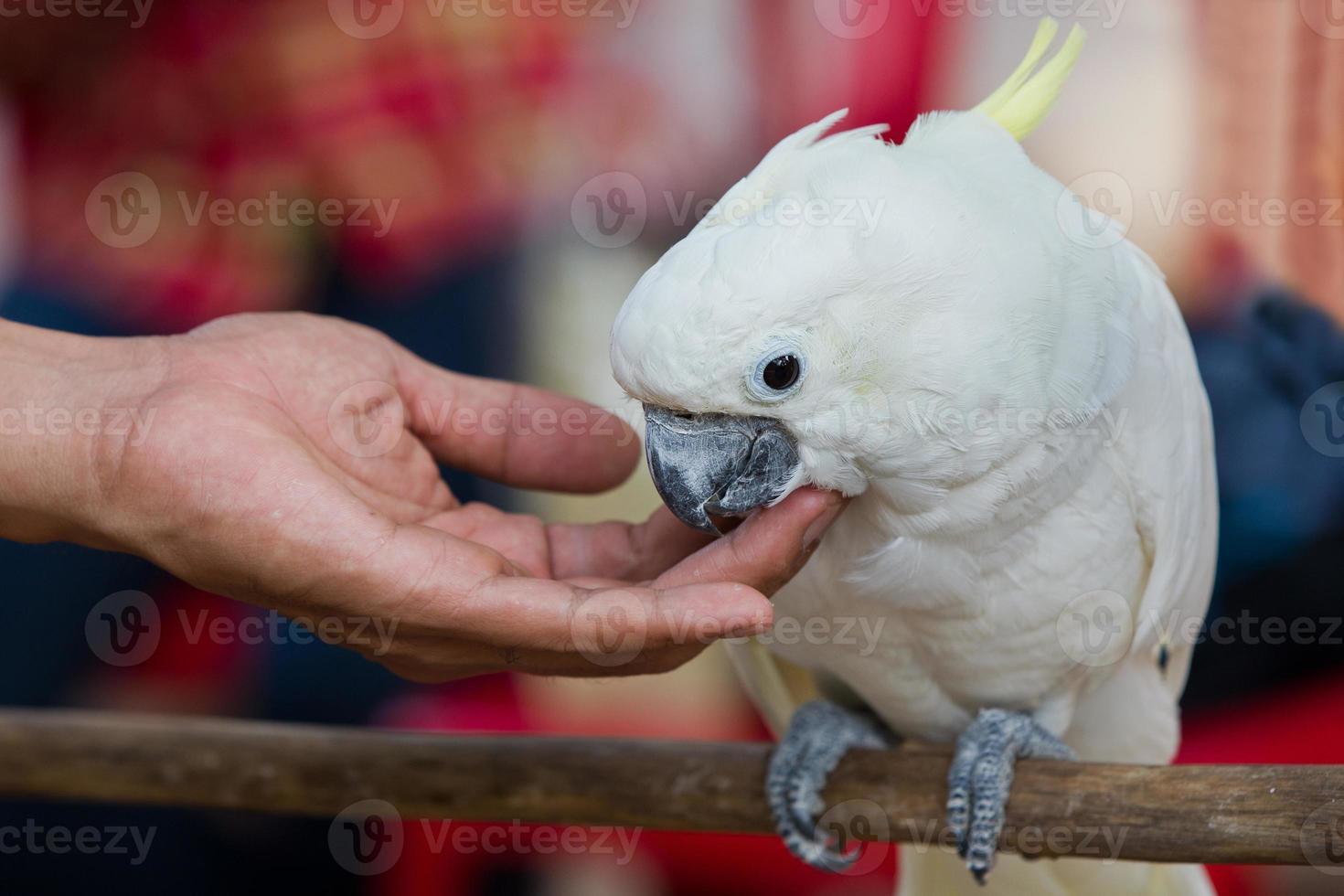 papagaio branco foto