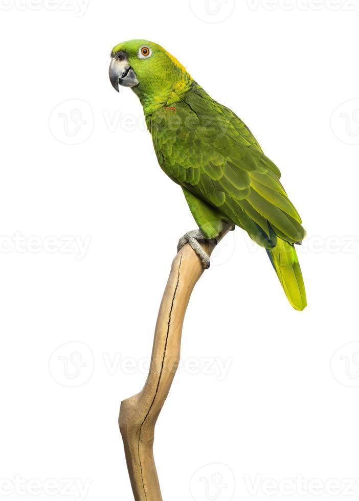 papagaio amarelo-naped (6 anos) empoleirado em um galho, isolado foto