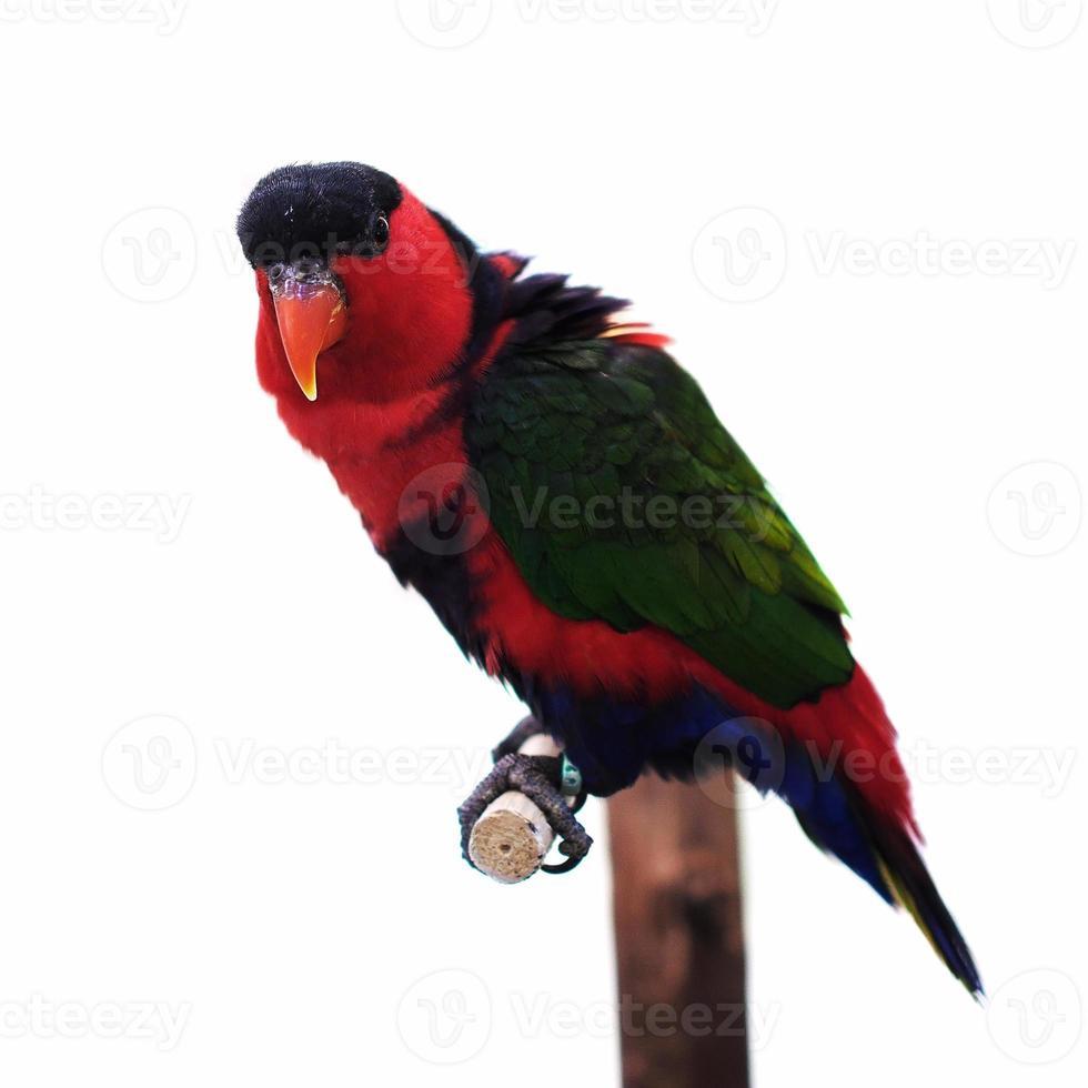 papagaio eclectus foto