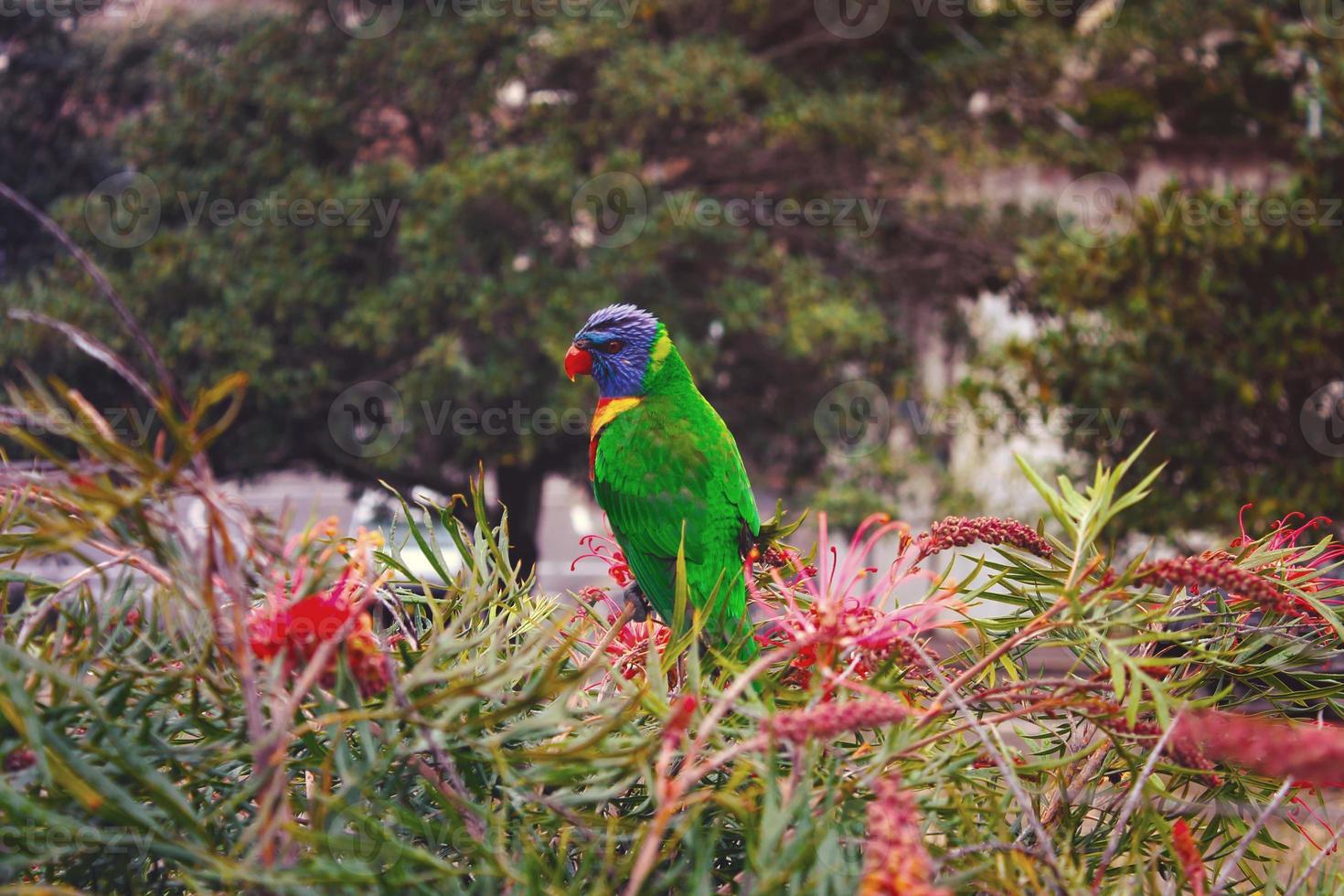 papagaio nos arbustos foto