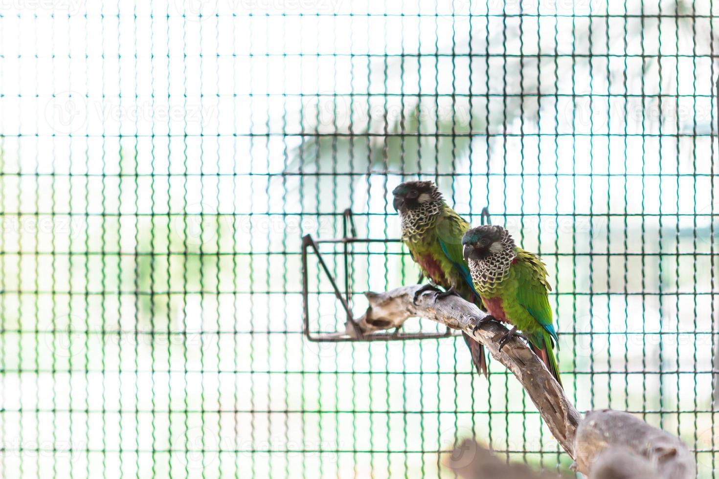 dois conure pintado colorido foto