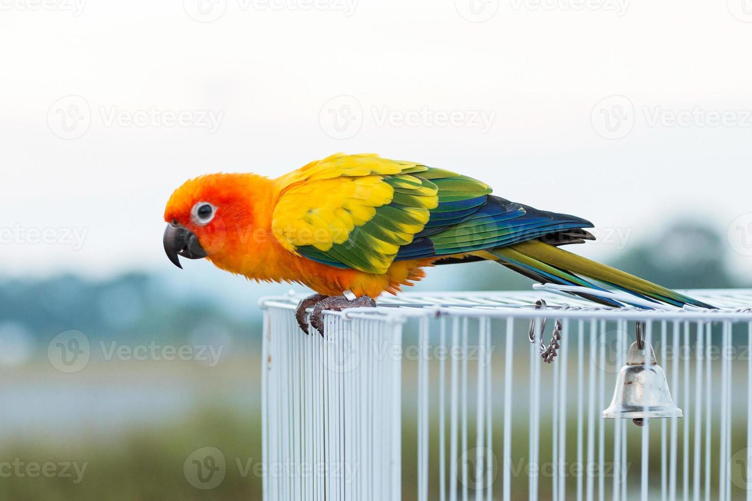 papagaio conure sol, pássaro foto