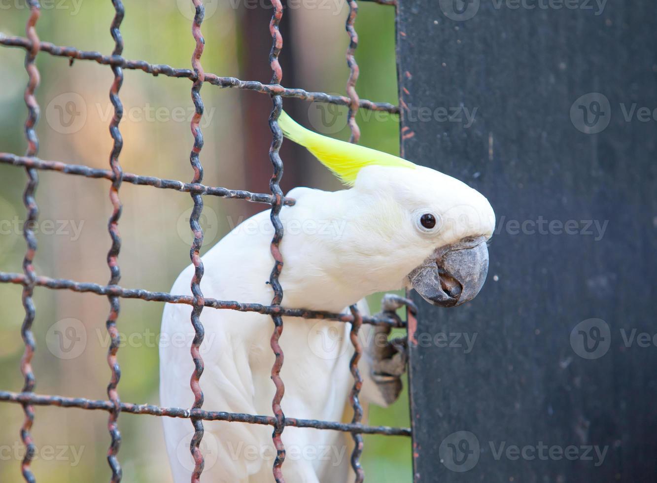 cacatua com crista de enxofre em uma gaiola foto